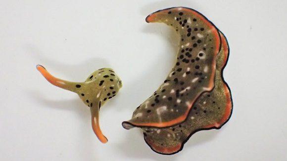 Detectan babosa marina que puede regenerar todo su cuerpo