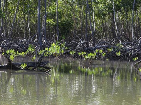 Proyecto para determinar la situación de los manglares, que resultan vitales para la protección de las costas. Autor: Juventud Rebelde Publicado: 21/09/2017