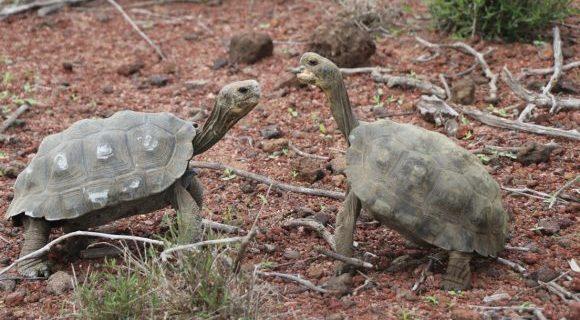 """Liberan tortugas gigantes en la Isla Santa Fe como parte del plan de """"restauración ecológica"""""""